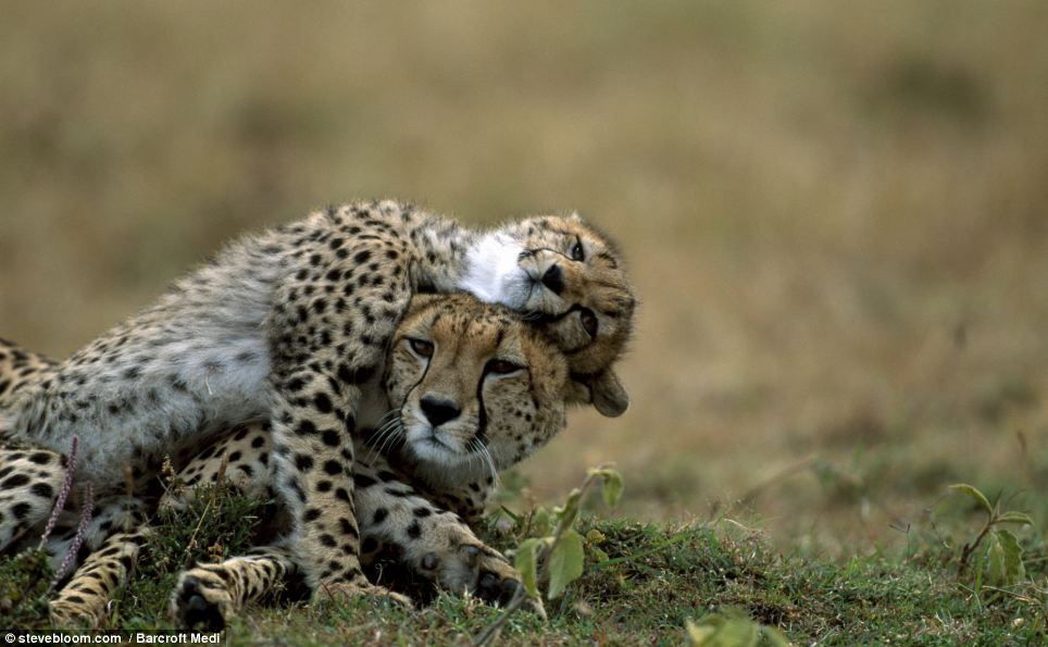 Spot the difference: A cheetah with her cub