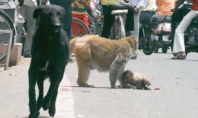 Mother scares the dog off and tends to her cub who cowers beneath  her in fear after the ordeal