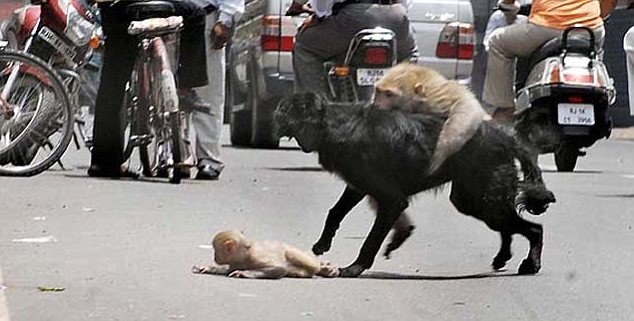 Monkey see monkey do: The mother attacking the dog after it has  started on her cub