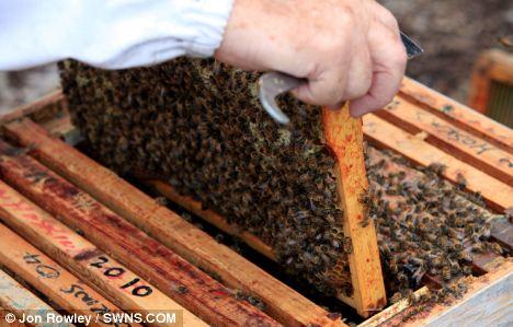 Honeybees in their hive at Stanton Park, Swindon, where Mr Hoskins  is breeding the resistant strain