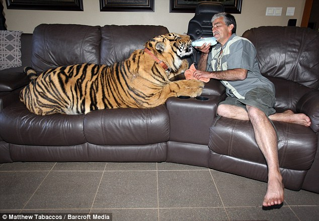 What's up pussycat? Goosey Fernandes feeds 19-month old Bengal  tiger Panjo, who has become part of the family after being adopted at  just three weeks