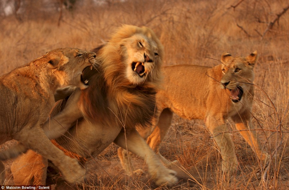 Roar deal: The lion is outnumbered in the rather one-sided battle