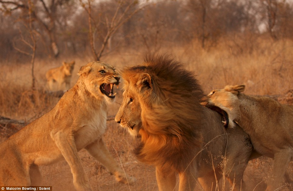 I got your back: The first lioness's attack is backed up by her  companion, who launches a nasty-looking attack on the male's  hindquarters