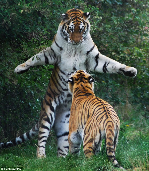 Standing up for himself: The Siberian tiger shows his rival who's  boss at Whipsnade Zoo in Bedfordshire