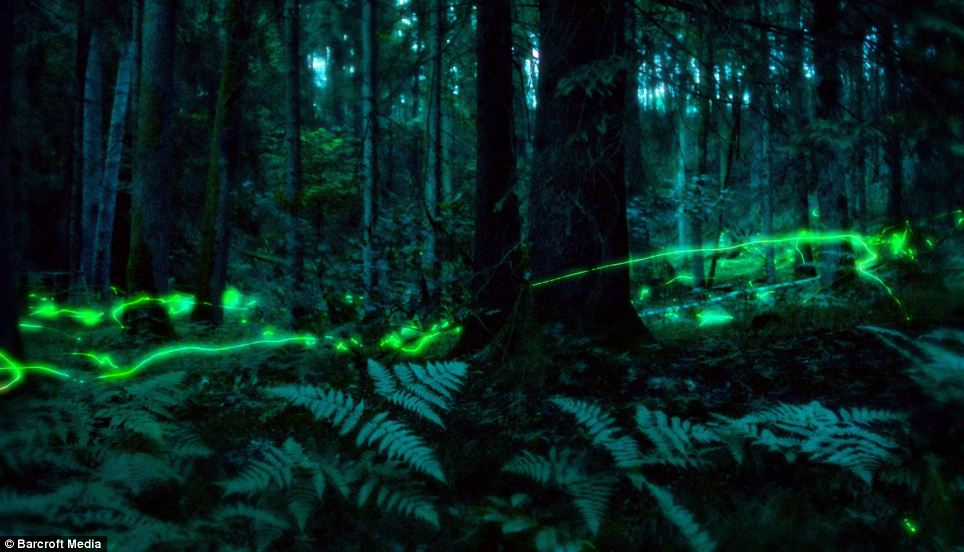 Using a slow shutter speed on the camera makes the fireflies appear to leave ghostly phosphorescent trails between the trees