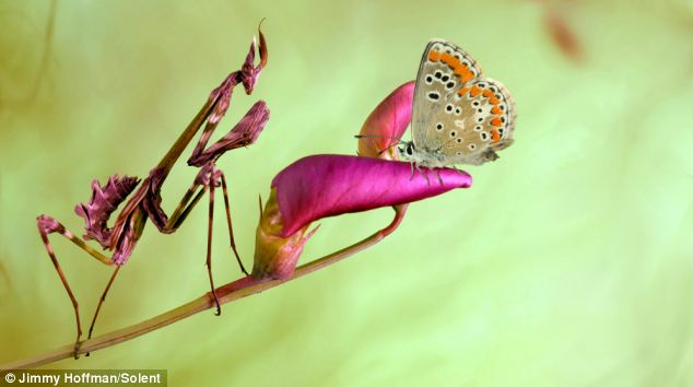 An Empusa Mantis, blending in with the colour of the flower on  which an unwitting butterfly has landed