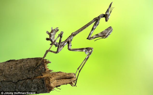 An Empusa Mantis larva looks as if it's made from twigs, as it  perches on one