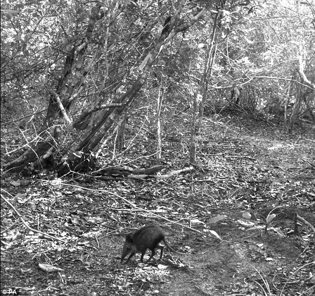 A giant elephant-shrew, which was caught on camera in Boni-Dodori  forest in north-eastern Kenya