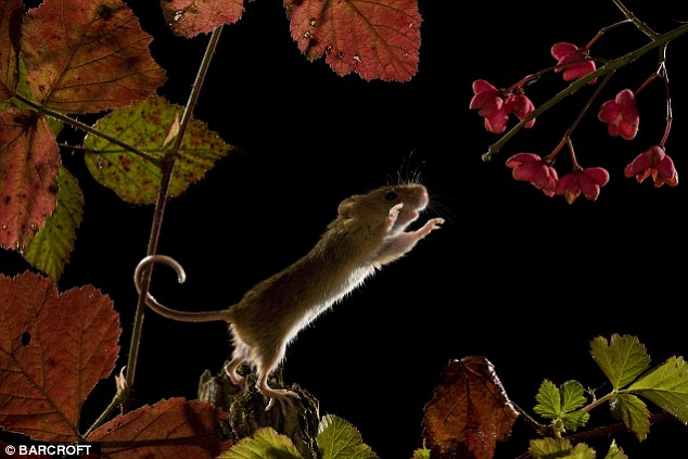 Steady on: A harvest mouse wraps its tail around a plant stem to help it balance while it investigates