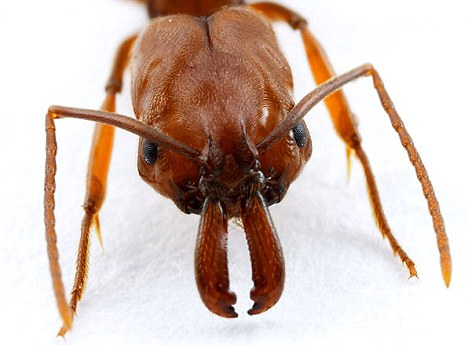 Ant attack: A swarm of ants bit a heart patient hundreds of times (file picture)