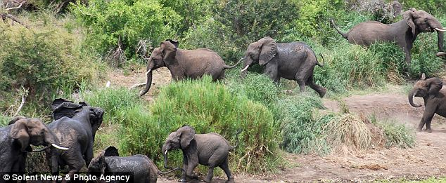 Spooked: Sensing something was wrong the elephants scattered in all directions, however the baby was left behind