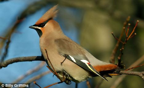The last big invasions of waxwings took place in 2008 and 2004 when they were spotted at nearly 2,000 sites across the country. In the last week they have been seen at 365 locations - suggesting a record year