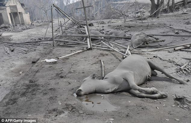 Apocalyptic scene: Dead farm animals lie aimid the ash-covered Central Java village of Argomulyo