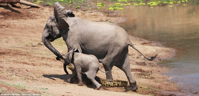 Despite the unwanted appendage, she and her baby broke into a run