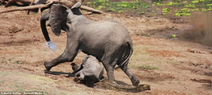FREE: Water gushes from the mum's trunk as she finally shakes the croc, with her baby momentarily tripping over the predator before the pair made off safely