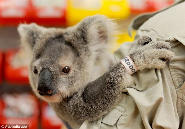 Improving: The koala has made an amazing improvement in a month after vets feared the worst