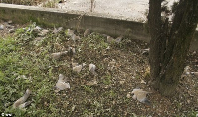Shock: Residents described seeing individual doves fall from the sky, before groups of 10 or 20 began hitting roofs and cars