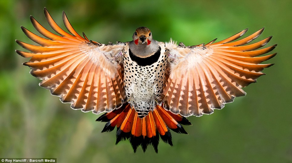 Freeze! A Red Shafted Northern Flicker is frozen by amateur wildlife photographer Roy Hancliff at 1/8000th of a second