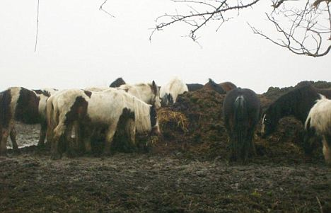 Abandoned: 250 wild horses have been left in Brigend by gypsies who could not afford to feed them