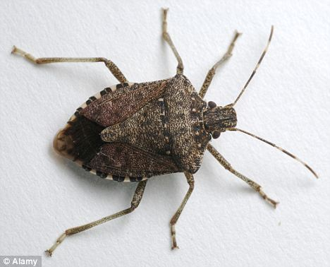 The enemy: The brown marmorated stink bug has now been spotted in 33 states