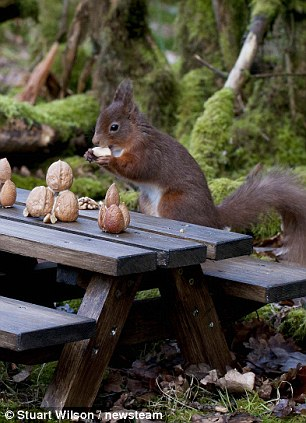 Let S Go Nuts Amazing Pictures Show Rare Red Squirrels