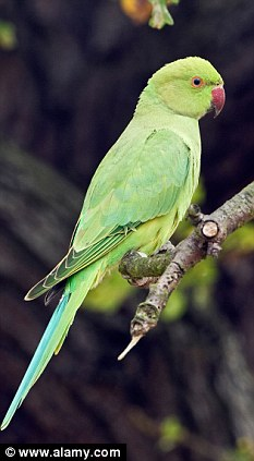 Rapidly expanding: Parakeets originate from South America but large numbers live in south England after birds were released from captivity in the 1990s