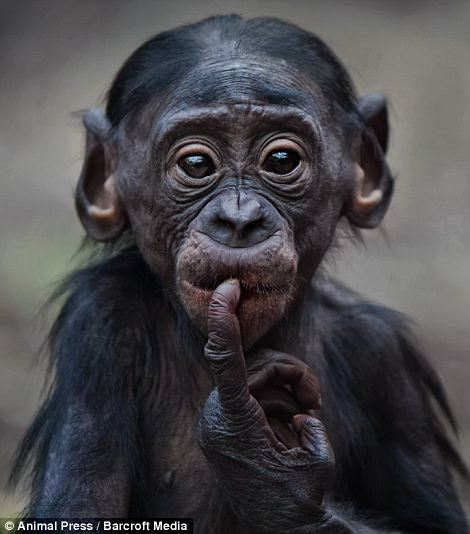 Transfixed by the lens: Pangi, left, is a two-year-old bonobo who was born in Frankfurt zoo