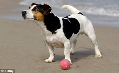 No idea: Detailed analysis of the study found that male dogs did not noticed anything odd at all about the balls - yet the females did