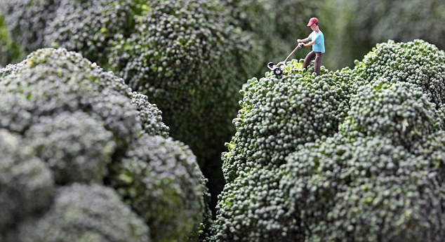 Out on the lawn: A man cuts the grass on some broccoli