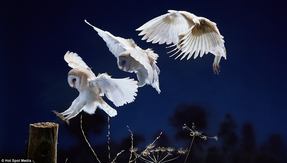 Landing owl: A beautiful white and beige owl lands is pictured landing on a wooden post in a Surrey garden