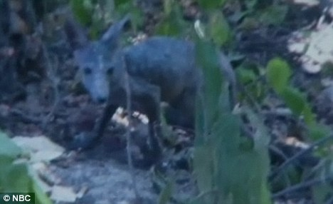 Legend: This dog-like, kangaroo-like creature was spotted roaming around the woods at the hospital