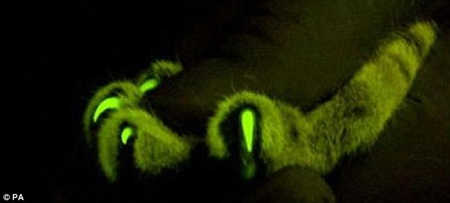 Sharp thinking: The cat's paws glow too. Scientists say that cats are the best subjects for this kind of research