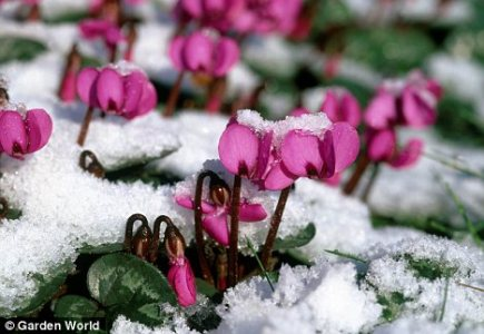 Winning the cold war  Plant flowers that will add colour throughout     Bright outlook  Plant cyclamen now for colour in even the chilliest months