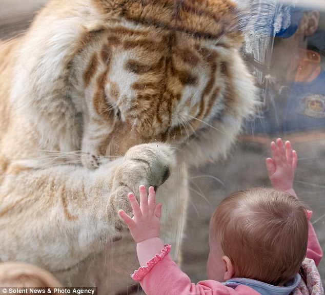 Tender moment: Rather than banging against the glass, the tiger gently put its paw up to the little girl's hand