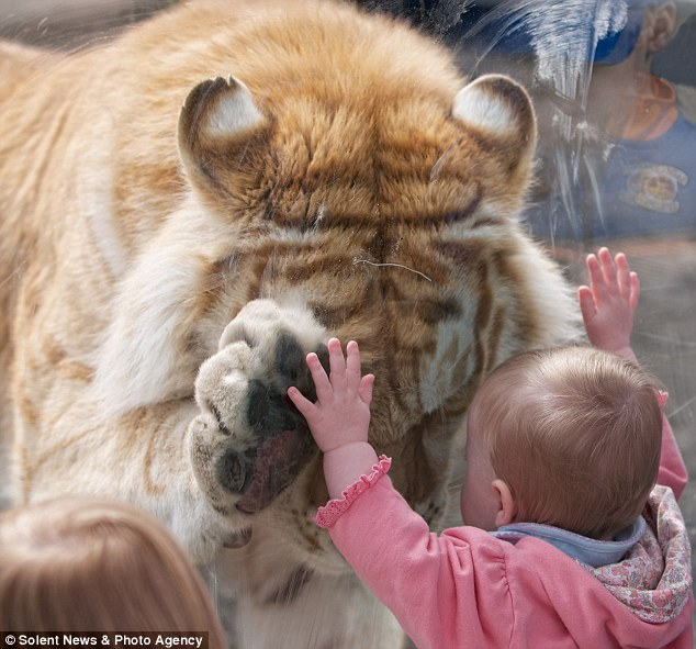 Bonding: The tiger put its face right down so the little girl could look it straight in the eye