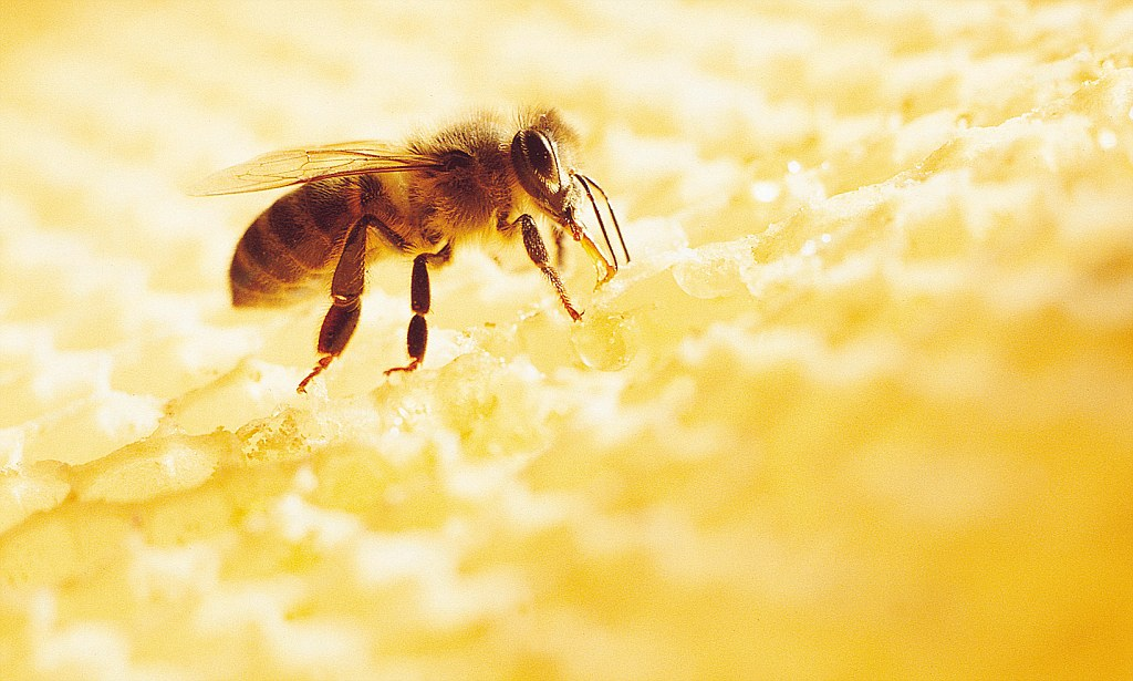 Honey The Bee Penicillin That Could Even Beat MRSA
