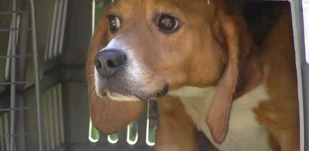 Aterrorizado: El rostro de este beagle lo dice todo al contemplar la libertad por primera vez