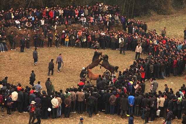 Crowds: Thousands watch as the two horses viciously fight to the death, for entertainment