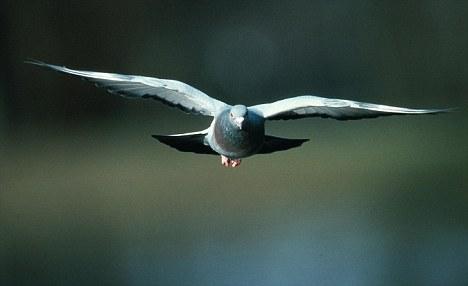 pigeons flight studies