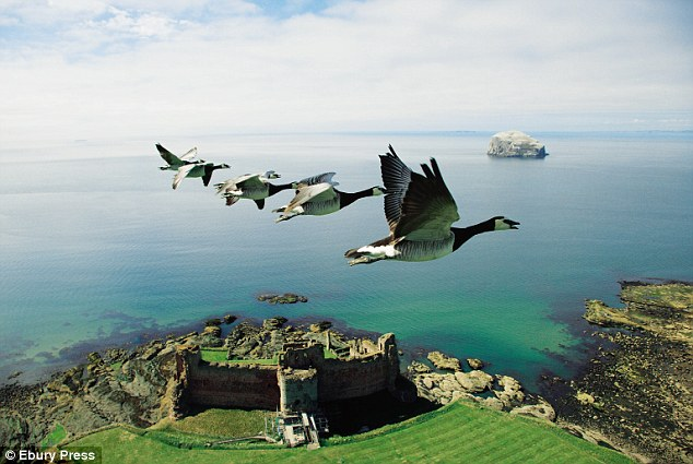Barnacle geese flying over Tantallon Castle on Scotland's east coast, en route to the Arctic