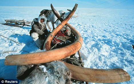 Fertile land: The thigh bone was discovered in the permafrost soil of Siberia as were these tusks which came from an entire 23,000-year-old mammoth dug up in 1999