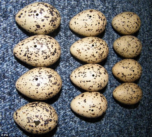 Image result for eggs stolen