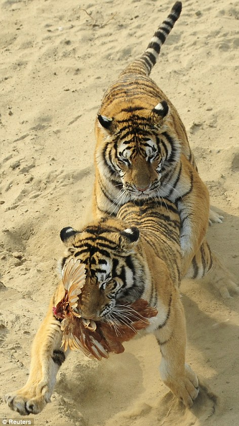 Siberian tigers fight for a chicken at the Siberian Tiger Forest Park in Harbin, Heilongjiang province