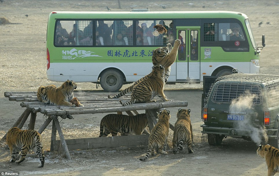 In a flap: An unlucky chicken desperately tries to escape after being served up for supper in a Chinese Safari park's tiger enclosure