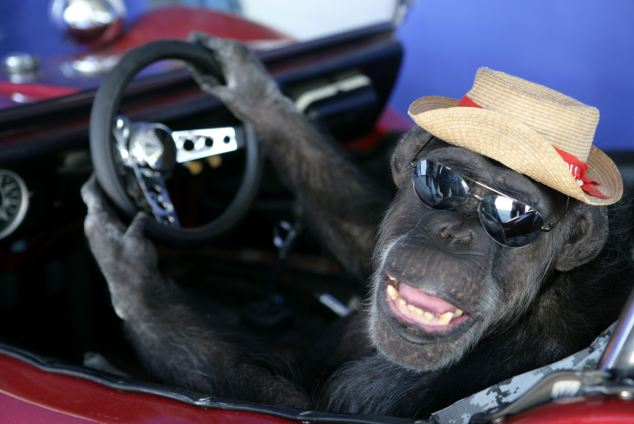 Imposter: Cheeta the chimp, when he was 76, making a promo music video to accompany his cover of the 1975 hit song 'Convoy'