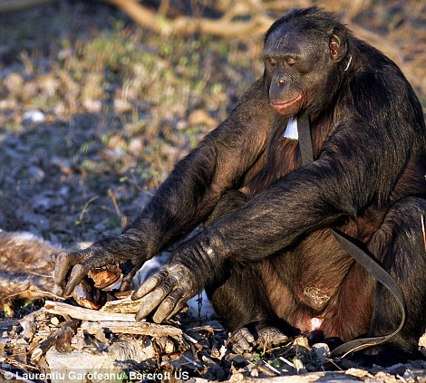 The chimp searches for the perfect site for a camp fire then carefully piles sticks onto a bed of dry leaves