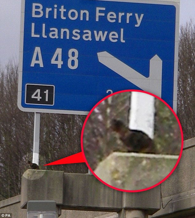 Scaredy cat: The moggy was perilously perched on a 50ft traffic sign above a busy motorway for 24 hours
