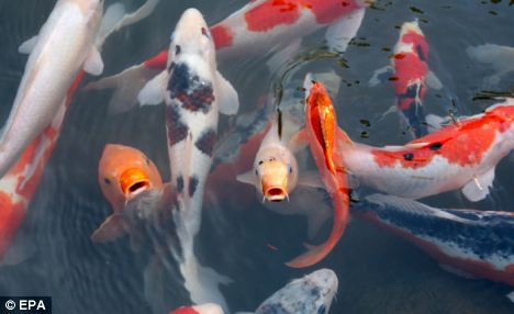 Miles de kilos de cara carpa koi están siendo devorados por las nutrias de Gran Bretaña