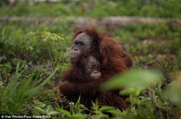 """Guardado: """"Nuestra llegada no pudo ser más oportuna.  Unos minutos más tarde y los orangutanes podrían haber muerto """", dijo el doctor Signe Preuschoft, un experto en primates Four Paws"""