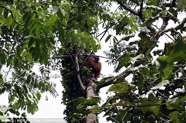 Un nuevo comienzo: Los monos fueron liberados de nuevo a la rápida disminución desierto en otras partes de Indonesia por el grupo de caridad